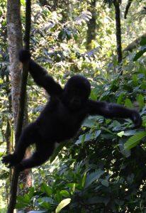Gorillas Uganda Kigali