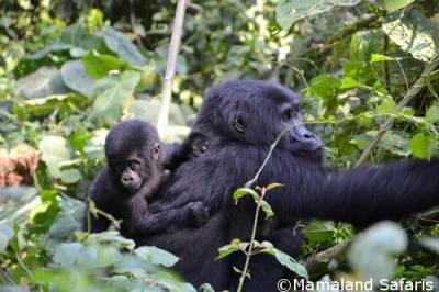 Great apes Uganda
