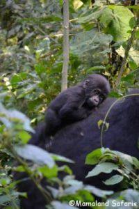 Uganda Rwanda safari