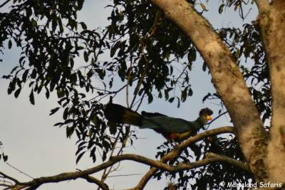 Mpanga forest birding