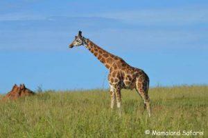 Murchison Kibale Safari