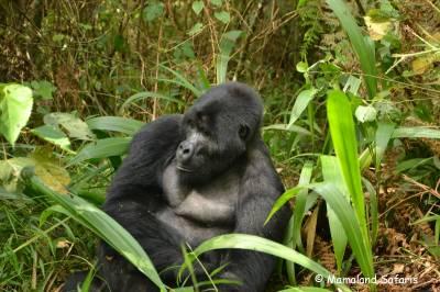 Fly-in gorilla trekking Uganda