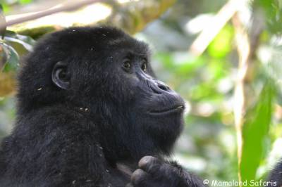 Gorillas and lions fly-in safari