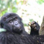Uganda & Rwanda primate safari