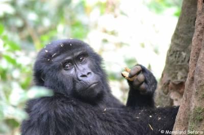 3 days gorilla trekking Uganda