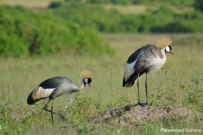 b2ap3_thumbnail_Grey-crowned-crane-Uganda-4