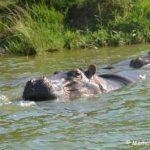 Masai Mara Gorillas