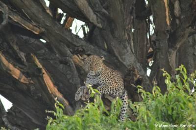 leopard Uganda