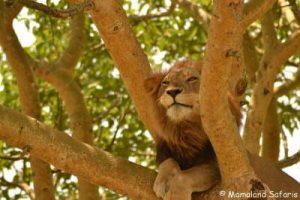 Gorillas & tree-climbing lions