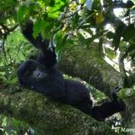 Gorillas in Uganda from Kigali