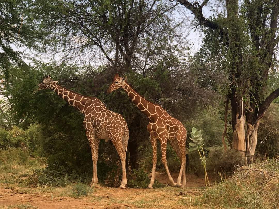 Giraffe Samburu