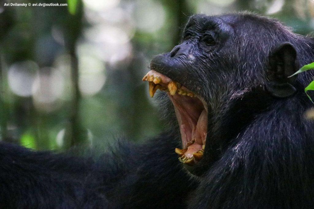Chimp photo safari