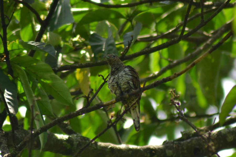 17 days Uganda birding safari