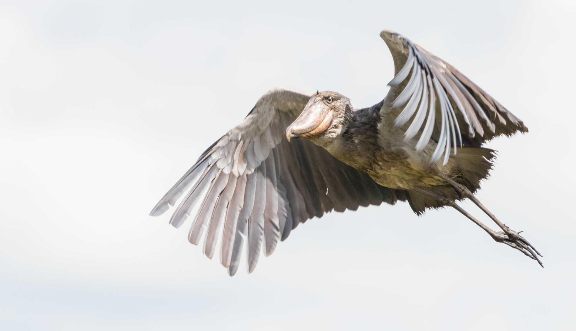 Shoe bill birding in Uganda
