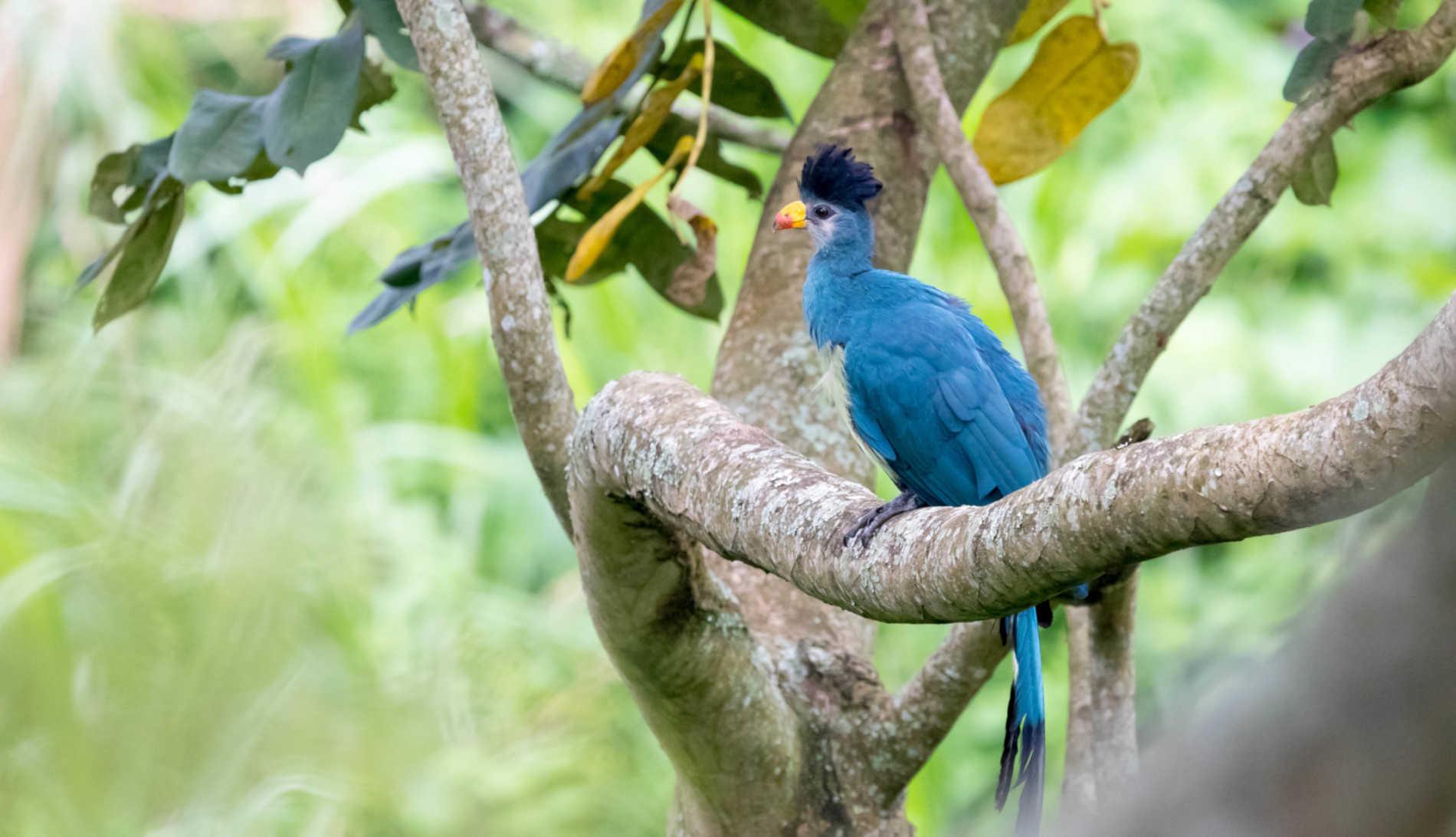 Turaco birding Uganda