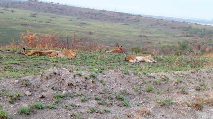 Queen Elizabeth NP lions