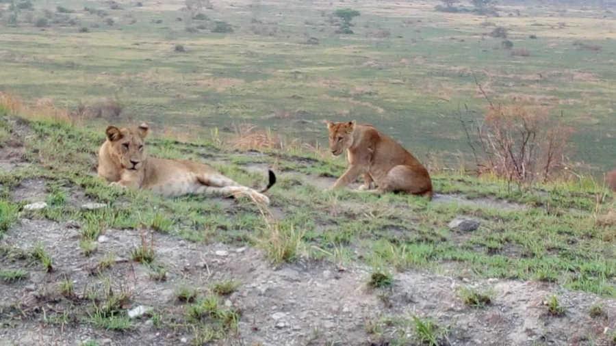 Lions in Queen Elizabeth NP