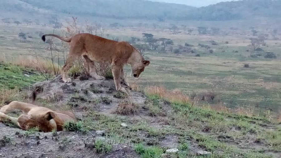 Lion in Queen Elizabeth NP