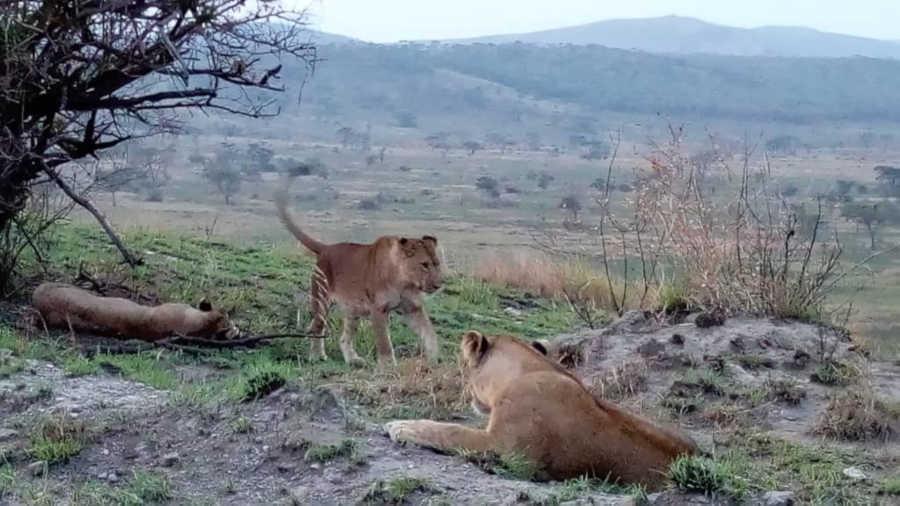 Lions in Queen