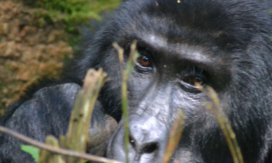 Conservation of Mountain gorillas