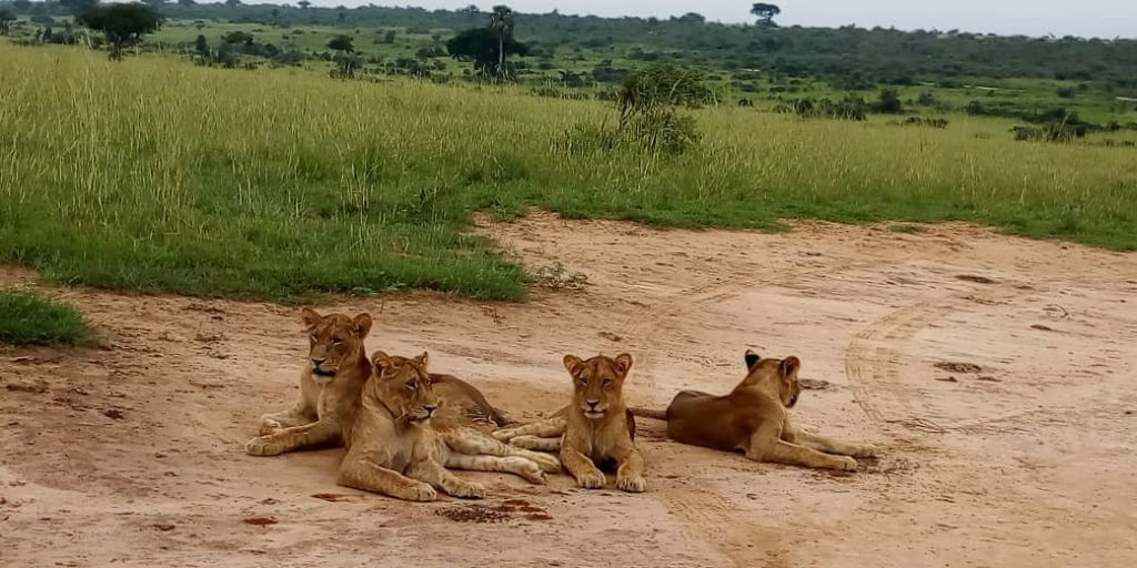 Lions Murchison Falls