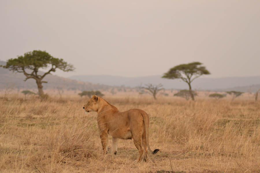 Gorilla trekking & Serengeti safari