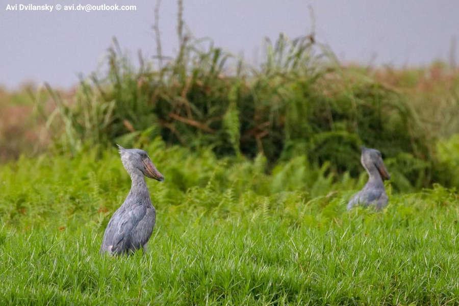 10 days Uganda birding safari